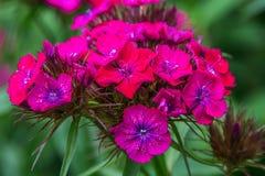 在绿色叶子,瓣的明亮的桃红色花用白色小点装饰 图库摄影