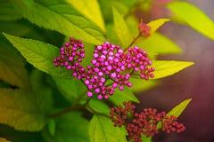 在绿色叶子,瓣的明亮的桃红色花用白色小点装饰 库存图片