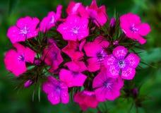 在绿色叶子,瓣的明亮的桃红色花用白色小点装饰 免版税库存图片