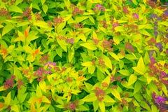 在绿色叶子,瓣的明亮的桃红色花用白色小点装饰 免版税库存照片