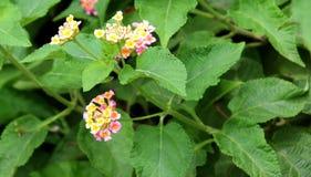 在绿色叶子登山人的美丽的花 库存照片