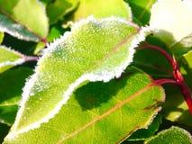 在绿色叶子-手机图片的早晨霜 免版税库存照片