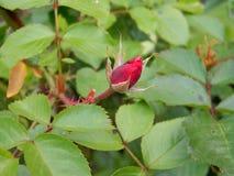 在绿色叶茂盛背景的红色玫瑰花蕾 免版税库存照片