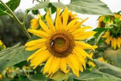 在黄色向日葵的土蜂在庭院里 库存图片