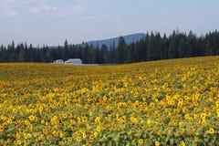 在黄色向日葵的领域的白色农舍 库存图片