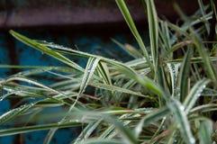 在绿色和白色叶子的水滴 免版税库存照片