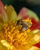 在黄色和红色花的Leafcutter蜂 图库摄影