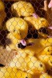 在黄色和黑下面铁丝网的鸭子 免版税库存图片