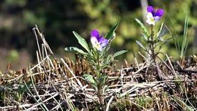 在紫色和黄色的紫罗兰在森林地板和一只小昆虫上 影视素材