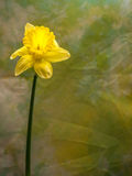 在绿色和黄色背景的唯一黄水仙 库存图片
