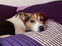 在紫色坐垫的困狗` s口鼻部 免版税库存图片