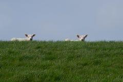 在绿色堤堰的两只白色羊羔反对蓝天 免版税图库摄影