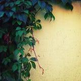 在黄色墙壁上的上升的植物-被定调子的图象 免版税库存图片