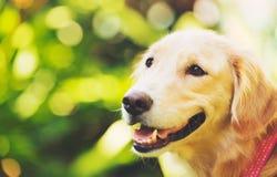 在绿色室外的Haopy金毛猎犬 库存照片