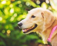 在绿色室外的Haopy金毛猎犬 免版税库存照片