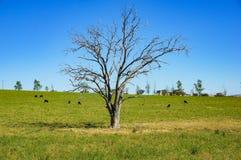 在绿色小牧场,有吃草农厂的牛的牧场地的干燥树 库存照片