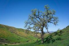 在绿色山谷的高橡木 免版税库存图片