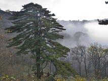 在黄色山-黄山,中国的杉树 免版税库存图片