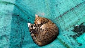 在绿色帆布的睡觉猫 免版税库存图片