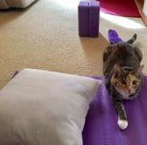 在紫色席子的瑜伽猫 库存照片