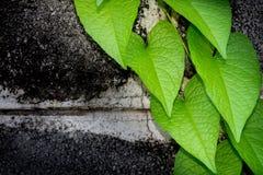 在绿色常春藤盖的砖墙 免版税图库摄影