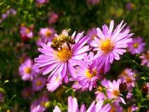在绿色庭院的蜂淡紫色花的 免版税库存照片