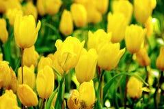 在绿色庭院背景的黄色郁金香花 免版税库存照片