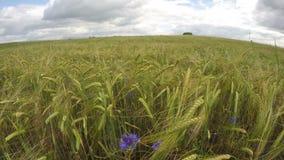 在绿色成熟的大麦领域与蓝色矢车菊,时间间隔的Cloudscape 影视素材