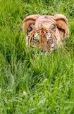 在绿色掩藏的蹲下的老虎 免版税库存图片