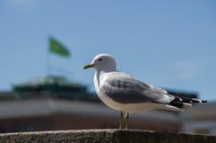 在绿色旗子背景的海鸥  库存照片