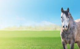 在绿色春天的灰色马吃草,横幅 库存图片