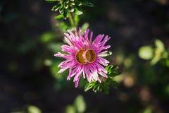在紫色春黄菊的婚戒 免版税库存照片