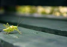 在绿色木长凳的蚂蚱 免版税库存图片