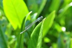 在绿色本质的小的蜻蜓 库存照片