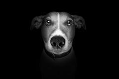 在黑色查出的狗 免版税库存照片