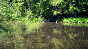 在绿色树之间的肮脏的沼泽水在森林里 影视素材