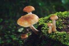 在绿色树桩的蘑菇在夏天森林里 库存图片
