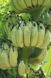 在绿色树的香蕉 免版税库存照片