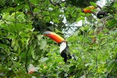在绿色树的Tucans 免版税库存照片