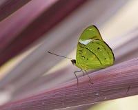 在紫色桃红色植物的绿色蝴蝶 免版税库存照片