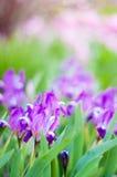 在绿色桃红色背景的淡紫色花 免版税图库摄影
