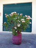 在紫色桶的桃红色花 免版税库存照片