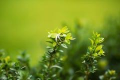 在绿色棍子的圆环有叶子的 免版税库存照片