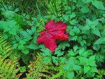 在绿色森林厂的红槭叶子 免版税库存照片