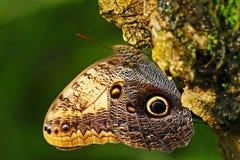 在绿色森林美丽的蝴蝶蓝色Morpho, Morpho peleides的蝴蝶,在栖所,有黑暗的森林的,绿色植被, C 库存图片