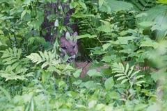 在绿色森林里隐瞒的美洲狮 免版税库存照片