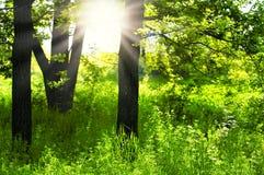 在绿色森林.green森林日出的阳光 免版税库存图片