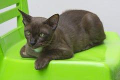 在绿色椅子的布朗猫 免版税库存照片