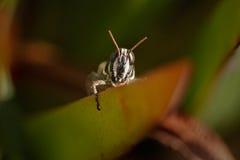 在绿色植物之间的暗藏的蚂蚱 库存照片