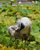 在绿色植物之间的澳大利亚白色朱鹭 图库摄影